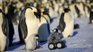 Учени внедриха бебе-робот сред пингвини