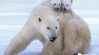 Полярните мечки мигрират на север