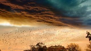 Мигриращите птици сменят позицията си в ятото, пестят енергия