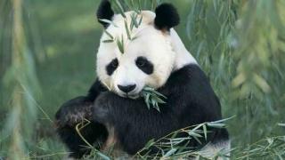 Популацията от гигантски панди в Китай се е увеличила със 17 %