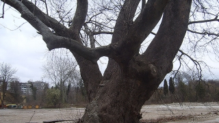 Четем за природата до вековния чинар в Аспарухово