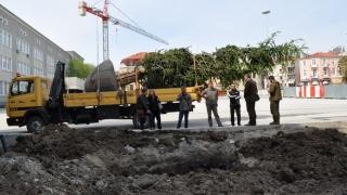 Атласки кедър ще пази сянка на площад в Бургас
