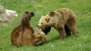 Мечките Бойка и Станди ще имат нов дом в парка в Белица