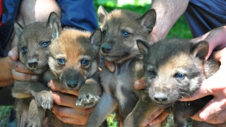 Четири вълчета са първите зообебета на Чикита и Диян във Варна