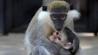 Роди се маймунче във варненския зоопарк