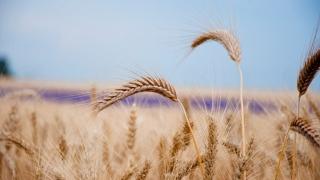 С много високо качество е тазгодишната пшеница
