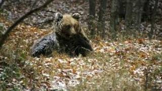 9 мечки обитават Витоша