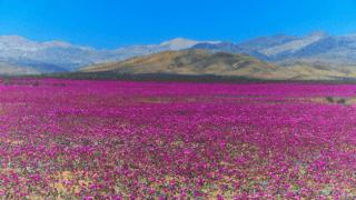 Най-сухата пустиня на Земята разцъфна