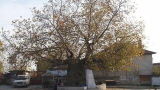 До осемвековния чинар на Джигурово извира най-чистата вода