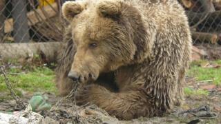 На Мечкин ден какво се случва в парка на мечките в Белица?